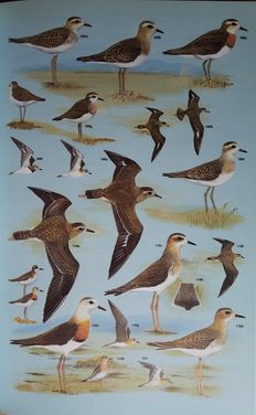 Lot with 9 books about Shorebirds, Sandpipers, Gulls etc. - 1975/1987