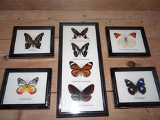 Set of Exotic Butterfly cases - 15 x 12,5cm and 32 x 15cm  (5)