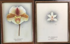 Unknown (20th century) - Award winning Orchids