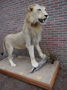 Top taxidermy - African Lion, male, full-size mount - Panthera leo - 195 x 165cm