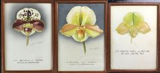 Jeane Holgate (20th century) - Award winning Orchids
