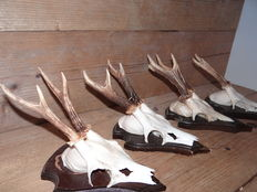 Collection of finely presented Roebuck trophies - Capreolus capreolus - 23 x 13cm  (4)