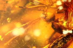 Mosquito (Culicidae) in Dominican Amber - 1.6 x 1cm