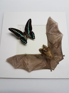 3D frame with flying Bat and mounted Butterfly - 25 x 25 cm