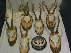 Deer antlers and boar teeth on wood discs