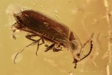 Baltic Amber Harry Fungus Beetle (Mycetophagidae ) fossil inclusion + HQ picture