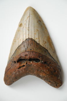 Fossil shark tooth - C. megalodon - 11,6 cm (4,57 inches)