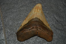 Fossil shark tooth - C. megalodon - 11,7 cm (4,61 inches)