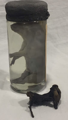 Pig foetus preserved in spirits, with non-effective foetus (stone fruit) - Suidae sp. - 13 x 6cm - 5 x 5cm - 470gm  (2)