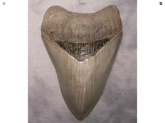 Very sharp serrated fossil shark tooth - C. megalodon - 11,8 cm (4 5/8 inch)