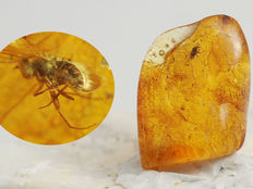 Baltic amber inclusion - Diptera (2,3mm) - 19 x 15 x 6 mm