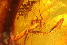"Praying mantis ""Mantis religiosa"" (rarity) in Dominican Amber 0.6cm"