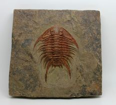 Trilobite on matrix - Foulonia sp. - 6.5 x 4.6 cm