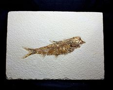 Long fossil fish - Knigthia alta - 11.7 cm