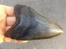 Fossil shark tooth - Carcharocles megalodon - 11,7cm