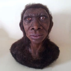 Reconstruction of a bust of homo Ergaster - 35 x 30 x 20 cm