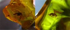 2 Fossil insects in baltic amber - 1,1 x 0,9 x 0,4 cm, 1,3 x 1,0 x 0,5cm(2)