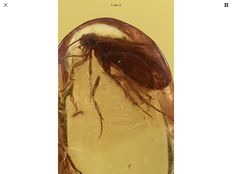 Baltic Amber Caddisfly Trichoptera fossil inclusion + Picture