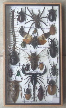 A very diverse wooden collector's box with 22! different insects including a poison set.