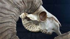 Horned skull - (very wide) 58 x 27cm, approx. 3 kg