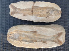Fossil fish - Tharrias araripis - 28 cm (positive and negative)