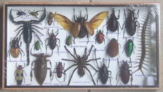 Insect collector's display case, with a Scorpion, Tarantula and Centipede - 35 x 20cm