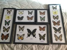 A varied collection of framed Butterflies - 17 x 13cm to 42 x 13cm  (5)