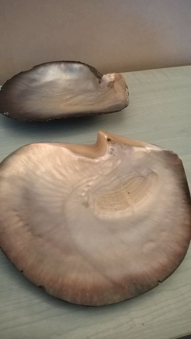 Pearl Oysters - Ostrea edulis - 200 x 195mm and 200 x 170mm (2)