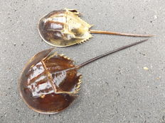 A pair of preserved Horseshoe Crabs - Limulidae sp. - 29 and 26cm  (2)
