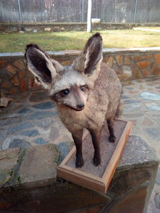 Top Taxidermy - Bat Eared Fox - Otocyon megalotis - 55 x 53cm