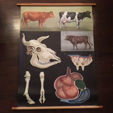 Original vintage Jung-Koch-Quentell pull down school chalk chart  with cows.