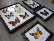 A fine selection of framed Butterflies and Moths - 14 x 12 cm, 17 x 20 cm and 25 x 20 cm (4)