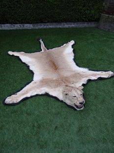 Taxidermy African Lioness skin with full head - Panthera leo -280 x 180 cm