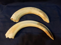 Antique Hippopotamus teeth - Hippopotamus amphibius - 33 and 32cm - 585gm  (2)