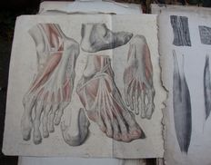 Jones Quain MD - The Muscles of the Human Body - 1836