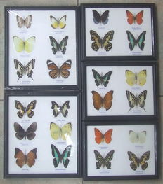 Two collections of 12 exotic Butterflies, various sizes – 25 x 22cm and 20 x 17cm  (5)