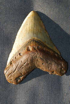 Fossil shark tooth - C. megalodon - 11,8 cm