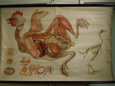 Large old school plate: Anatomy of the chicken