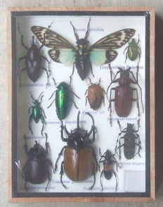 An Exotic Insect collection box - 20 x 15cm