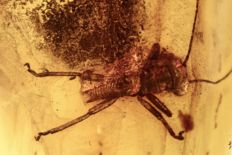Baltic Amber Cricket (Gryllidae) fossil inclusion + HQ picture