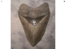Fossil shark tooth, sharp serrated - C. megalodon - 11,3 cm