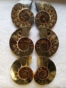 Set of fossil Ammonites - Cleoniceras SP. 3. -220, 270, 274g - sawn in two