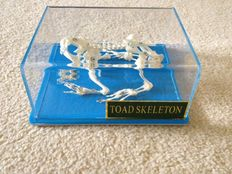 Taxidermy - Common Toad skeleton, in display case - Bufo bufo - 130 x 110 x 60mm - 150gm