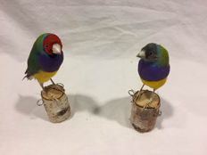 Taxidermy Gouldian Finches - Erythrura gouldiae -  12 and 11cm - 22 and 21gm  (2)