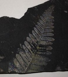 Fossil plants in shale -  Pecopteris sp. - 115 x 62 x 10 mm - 112 g