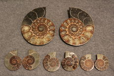 Four Ammonites Cleoniceras sp. - 40 to 106 mm - 663gm (4)