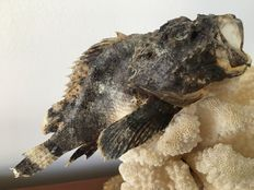 Stone fish placed on an old piece of white coral mounted on an old brass base - 28 cm - 1,22 kg