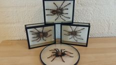 Fine Lot comprising various Tarantula species - Poecilotheria and Brachypelma sp. - 16 x 13cm  (4)