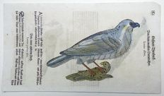 Conrad Gesner (1516-1565) - One leaf with 3 woodcuts Ornithology: Birds, Great Grey Shrike, Bunting - 1669