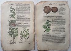 2 pages from unknown artist (16th century), published by Jean Ruel (1474-1537) - Walnuts - 16th century